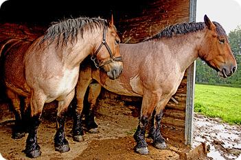 Draft Horse Breeds List Ardennais Horse Breed