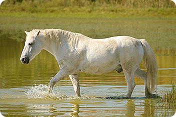 http://www.equestrianandhorse.com/images/main/White_Horse_2116556.jpg