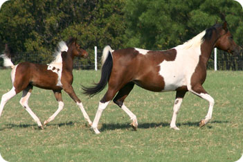 horse breeding and foaling from horse care see also foaling tack ...